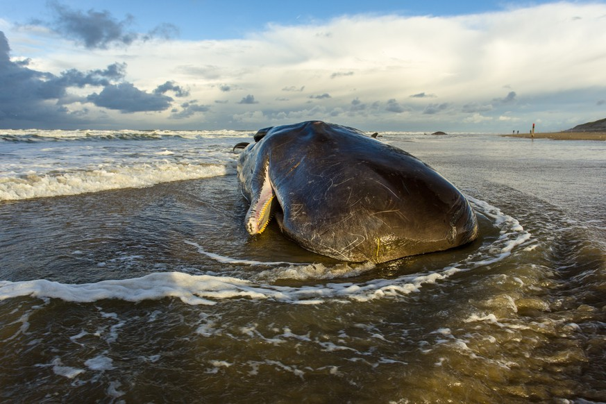 a stranded sperm whale has died on a beach on the island of texel, the netherlands